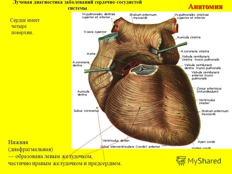 Лучевая диагностика заболеваний сердечно-сосудистой системыАнатомия Нижняя (диафрагмальная) образована левым желудочком, частично правым желудочком и предсердием. Сердце имеет четыре поверхни.