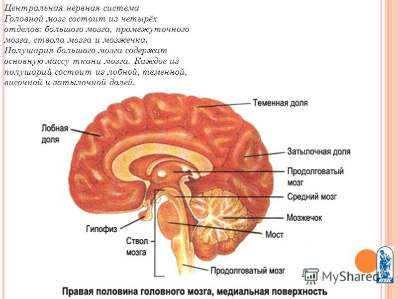Центральная нервная система Головной мозг состоит из четырёх отделов: большого мозга, промежуточного мозга, ствола мозга и мозжечка. Полушария большого мозга содержат основную массу ткани мозга. Каждое из полушарий состоит из лобной, теменной, височн