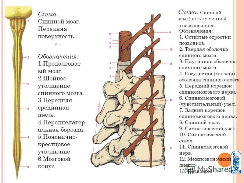 Схема. Спинной мозг. Передняя поверхность. Обозначения: 1.Продолговат ый мозг. 2.Шейное утолщение спинного мозга. 3.Передняя срединная щель. 4.Переднелатер альная борозда. 5.Пояснично- крестцовое утолщение. 6.Мозговой конус. Схема. Спинной мозг(пять