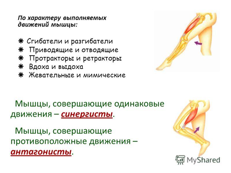По характеру выполняемых движений мышцы: Сгибатели и разгибатели Приводящие и отводящие Протракторы и ретракторы Вдоха и выдоха Жевательные и мимические Мышцы, совершающие одинаковые движения – синергисты. Мышцы, совершающие противоположные движения
