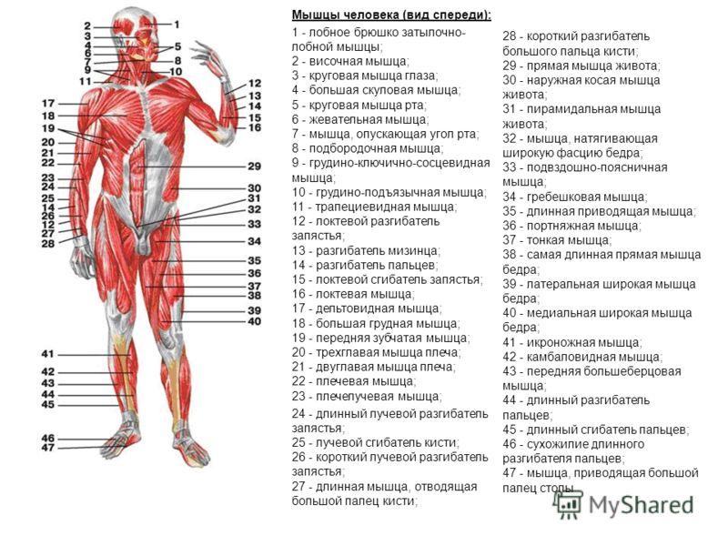 Мышцы человека (вид спереди): 1 - лобное брюшко затылочно- лобной мышцы; 2 - височная мышца; 3 - круговая мышца глаза; 4 - большая скуловая мышца; 5 - круговая мышца рта; 6 - жевательная мышца; 7 - мышца, опускающая угол рта; 8 - подбородочная мышца;