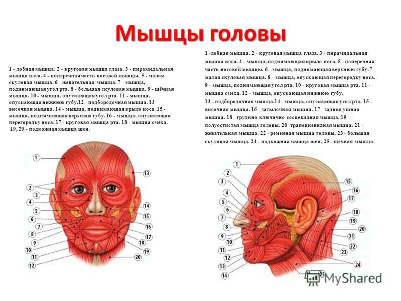 Мышцы головы 1 - лобная мышца. 2 - круговая мышца глаза. 3 - пирамидальная мышца носа. 4 - поперечная часть носовой мышцы. 5 - малая скуловая мышца. 6 - жевательная мышца. 7 - мышца, поднимающая угол рта. 8 - большая скуловая мышца. 9 - щёчная мышца.