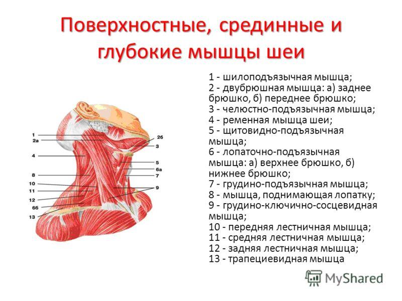 Поверхностные, срединные и глубокие мышцы шеи 1 - шилоподъязычная мышца; 2 - двубрюшная мышца: а) заднее брюшко, б) переднее брюшко; 3 - челюстно-подъязычная мышца; 4 - ременная мышца шеи; 5 - щитовидно-подъязычная мышца; 6 - лопаточно-подъязычная мы