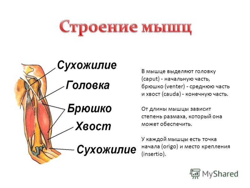 В мышце выделяют головку (caput) - начальную часть, брюшко (venter) - среднюю часть и хвост (cauda) - конечную часть. От длины мышцы зависит степень размаха, который она может обеспечить. У каждой мышцы есть точка начала (origo) и место крепления (in
