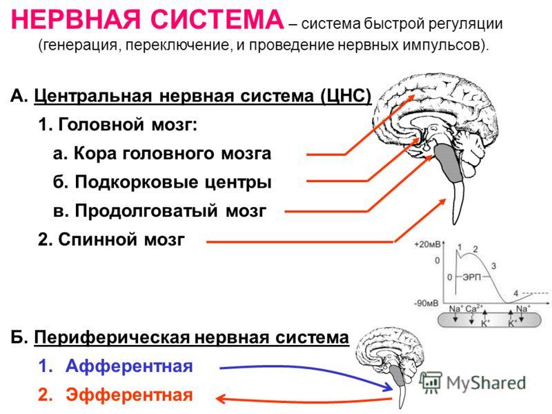 НЕРВНАЯ СИСТЕМА – система быстрой регуляции (генерация, переключение, и проведение нервных импульсов). А. Центральная нервная система (ЦНС) 1. Головной мозг: а. Кора головного мозга б. Подкорковые центры в. Продолговатый мозг 2. Спинной мозг Б. Периф