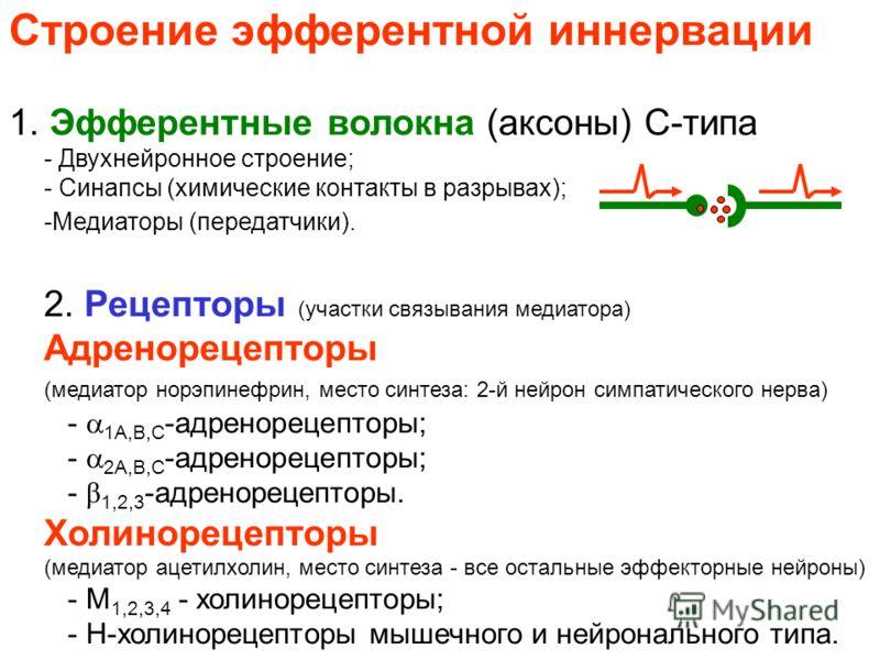 Строение эфферентной иннервации 1. Эфферентные волокна (аксоны) С-типа - Двухнейронное строение; - Синапсы (химические контакты в разрывах); -Медиаторы (передатчики). 2. Рецепторы (участки связывания медиатора) Адренорецепторы (медиатор норэпинефрин,