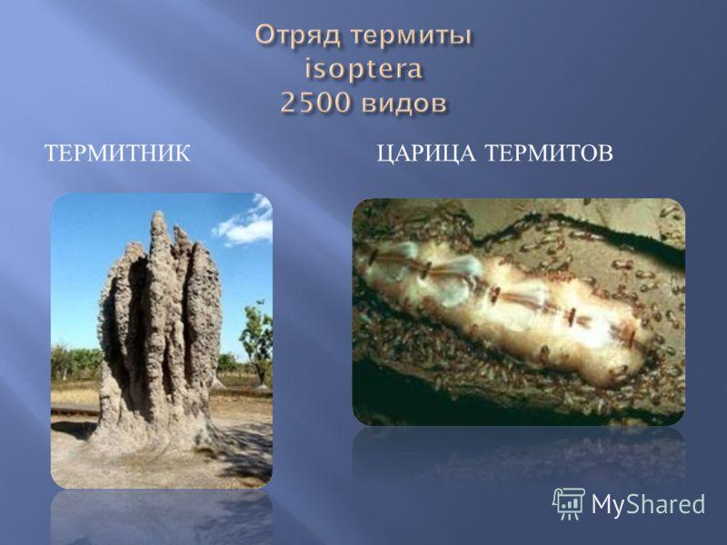 ТЕРМИТНИК ЦАРИЦА ТЕРМИТОВ