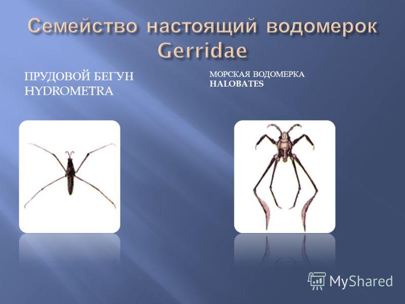 ПРУДОВОЙ БЕГУН HYDROMETRA МОРСКАЯ ВОДОМЕРКА HALOBATES