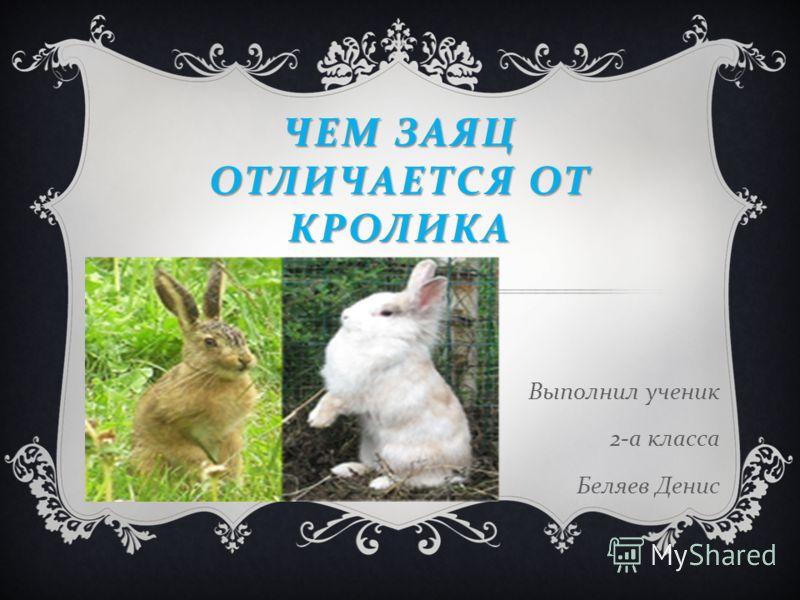 ЧЕМ ЗАЯЦ ОТЛИЧАЕТСЯ ОТ КРОЛИКА Выполнил ученик 2- а класса Беляев Денис