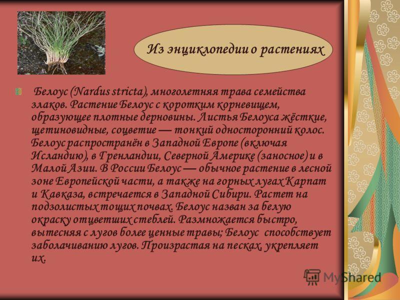 Белоус (Nardus stricta), многолетняя трава семейства злаков. Растение Белоус с коротким корневищем, образующее плотные дерновины. Листья Белоуса жёсткие, щетиновидные, соцветие тонкий односторонний колос. Белоус распространён в Западной Европе (включ