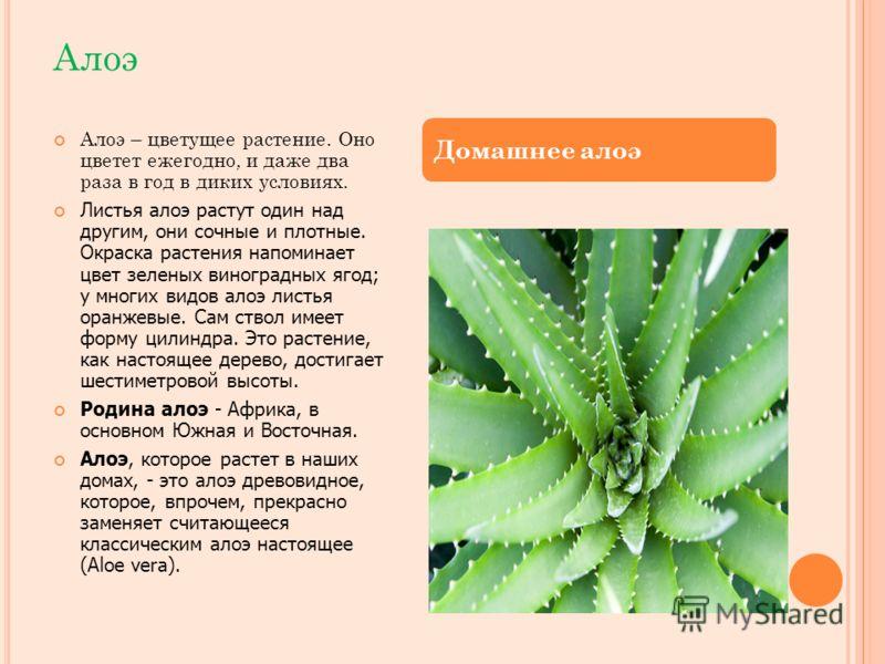 Алоэ Алоэ – цветущее растение. Оно цветет ежегодно, и даже два раза в год в диких условиях. Листья алоэ растут один над другим, они сочные и плотные. Окраска растения напоминает цвет зеленых виноградных ягод; у многих видов алоэ листья оранжевые. Сам