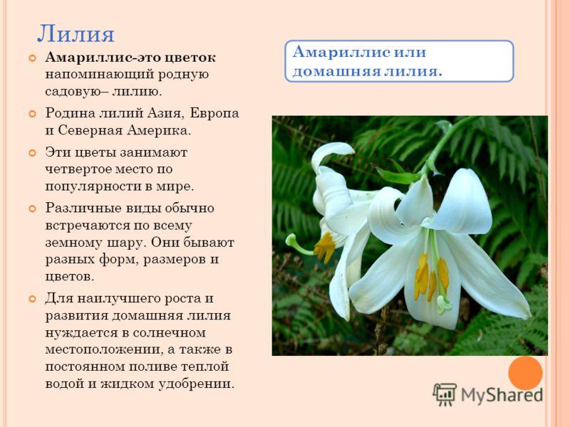 Лилия Амариллис-это цветок напоминающий родную садовую– лилию. Родина лилий Азия, Европа и Северная Америка. Эти цветы занимают четвертое место по популярности в мире. Различные виды обычно встречаются по всему земному шару. Они бывают разных форм, р