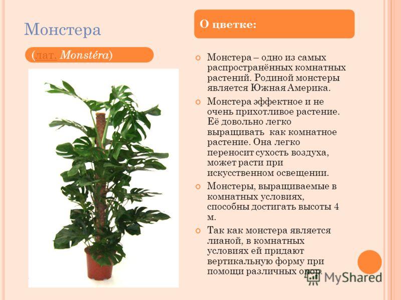 Монстера Монстера – одно из самых распространённых комнатных растений. Родиной монстеры является Южная Америка. Монстера эффектное и не очень прихотливое растение. Её довольно легко выращивать как комнатное растение. Она легко переносит сухость возду