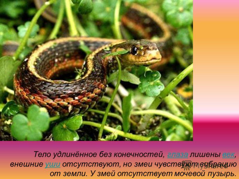 Тело удлинённое без конечностей, глаза лишены век, внешние уши отсутствуют, но змеи чувствуют вибрацию от земли. У змей отсутствует мочевой пузырь.глазавекуши