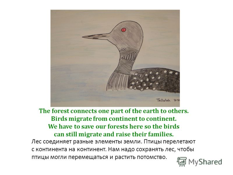 The forest connects one part of the earth to others. Birds migrate from continent to continent. We have to save our forests here so the birds can still migrate and raise their families. Лес соединяет разные элементы земли. Птицы перелетают с континен