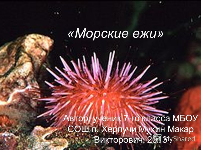«Морские ежи» Автор: ученик 7-го класса МБОУ СОШ п. Херпучи Мухин Макар Викторович, 2013