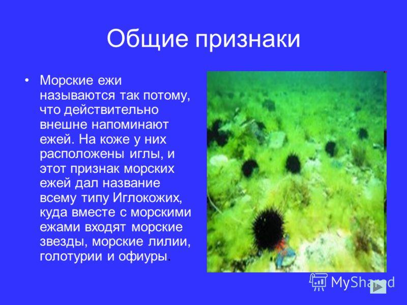 Общие признаки Морские ежи называются так потому, что действительно внешне напоминают ежей. На коже у них расположены иглы, и этот признак морских ежей дал название всему типу Иглокожих, куда вместе с морскими ежами входят морские звезды, морские лил