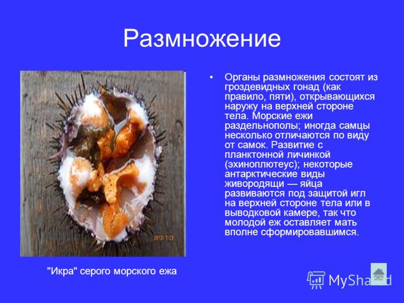 Размножение Органы размножения состоят из гроздевидных гонад (как правило, пяти), открывающихся наружу на верхней стороне тела. Морские ежи раздельнополы; иногда самцы несколько отличаются по виду от самок. Развитие с планктонной личинкой (эхиноплюте