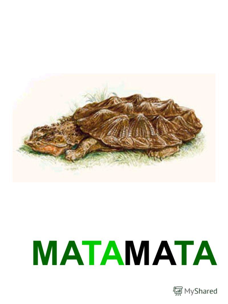МАТАМАТА