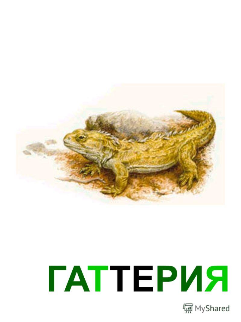 ГАТТЕРИЯ