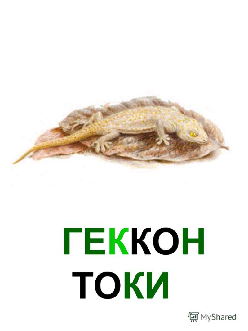 ГЕККОН ТОКИ