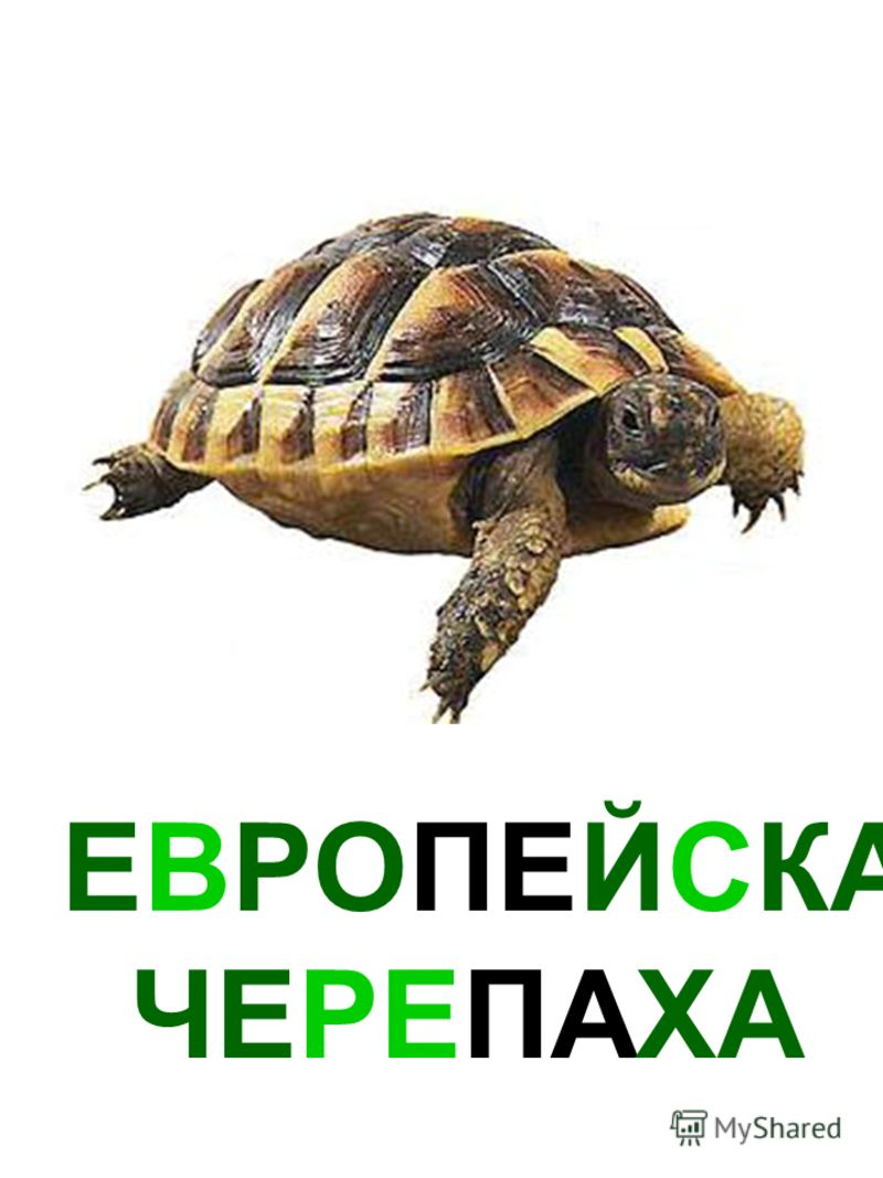 ЕВРОПЕЙСКАЯ ЧЕРЕПАХА