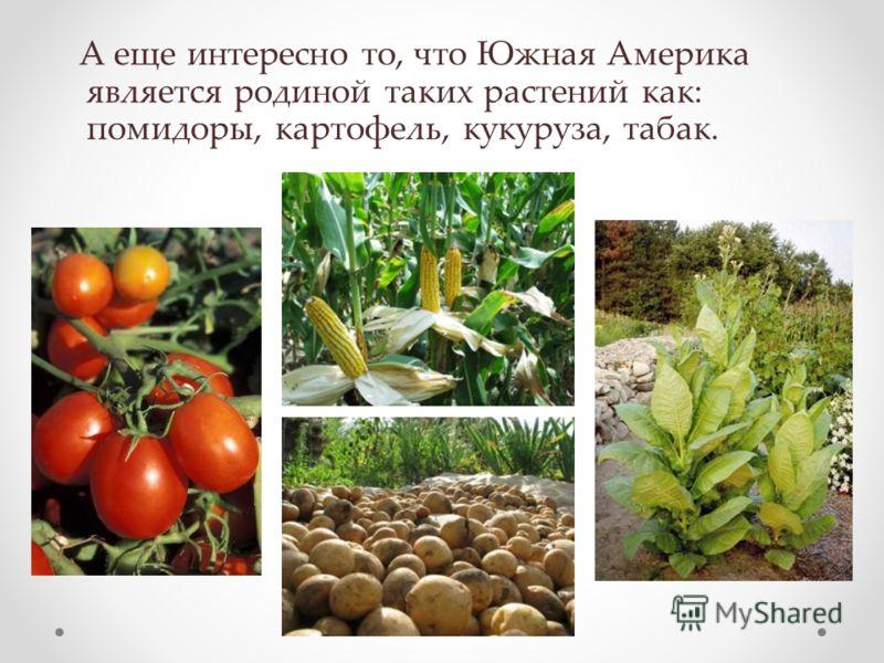 А еще интересно то, что Южная Америка является родиной таких растений как: помидоры, картофель, кукуруза, табак.