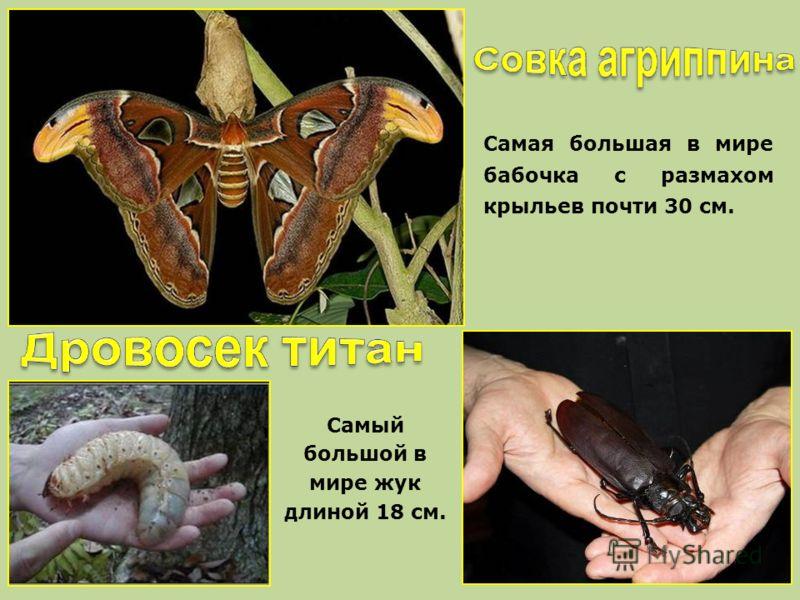 Самая большая в мире бабочка с размахом крыльев почти 30 см. Самый большой в мире жук длиной 18 см.