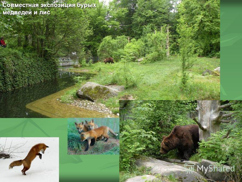 Совместная экспозиция бурых медведей и лис