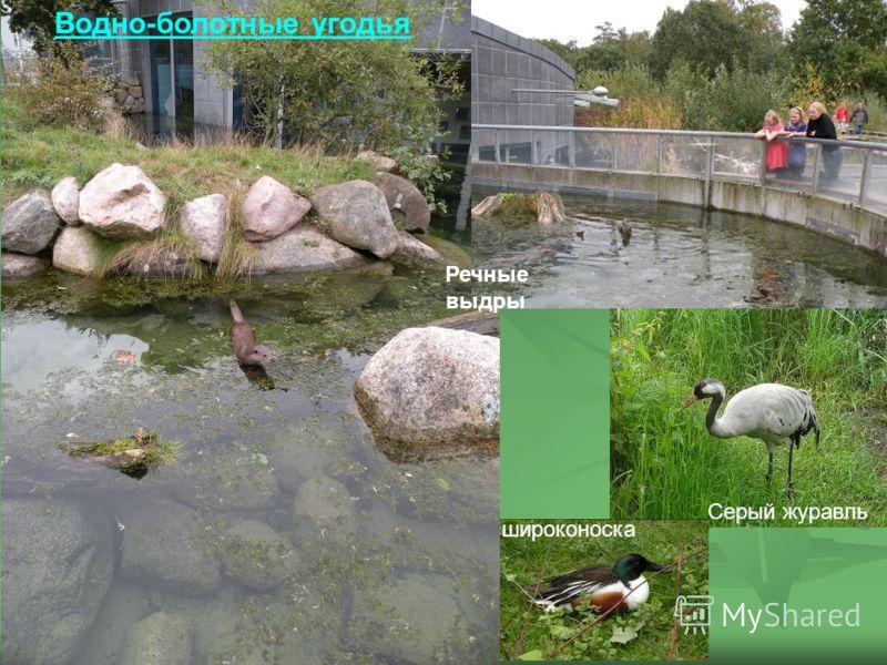Речные выдры широконоска Водно-болотные угодья Серый журавль