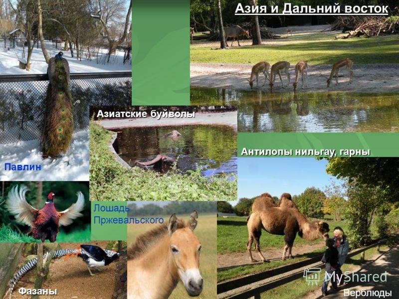 Антилопы нильгау, гарны Верблюды Фазаны Павлин Азия и Дальний восток Азиатские буйволы Лошадь Пржевальского
