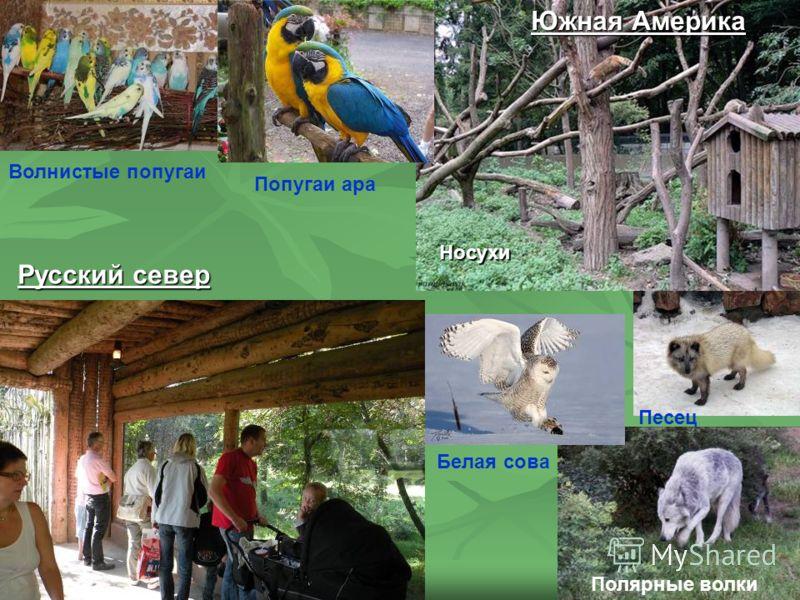 Южная Америка Русский север Полярные волки Волнистые попугаи Попугаи ара Носухи Песец Белая сова