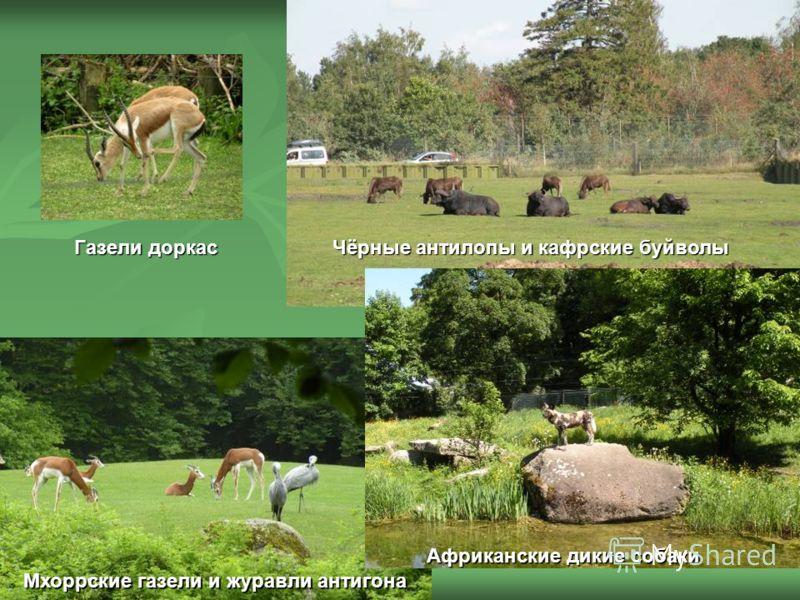 Газели доркас Чёрные антилопы и кафрские буйволы Африканские дикие собаки Мхоррские газели и журавли антигона