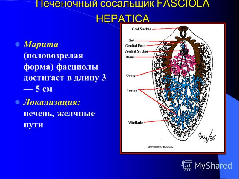 Печеночный сосальщик FASCIOLA HEPATICA Марита (половозрелая форма) фасциолы достигает в длину 3 5 см Локализация: печень, желчные пути