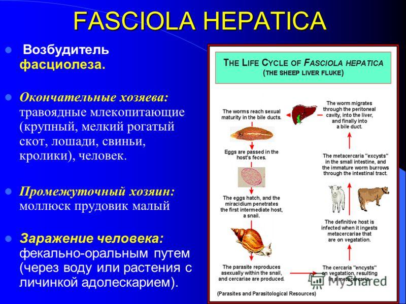 FASCIOLA HEPATICA Возбудитель фасциолеза. Окончательные хозяева: травоядные млекопитающие (крупный, мелкий рогатый скот, лошади, свиньи, кролики), человек. Промежуточный хозяин: моллюск прудовик малый Заражение человека: фекально-оральным путем (чере