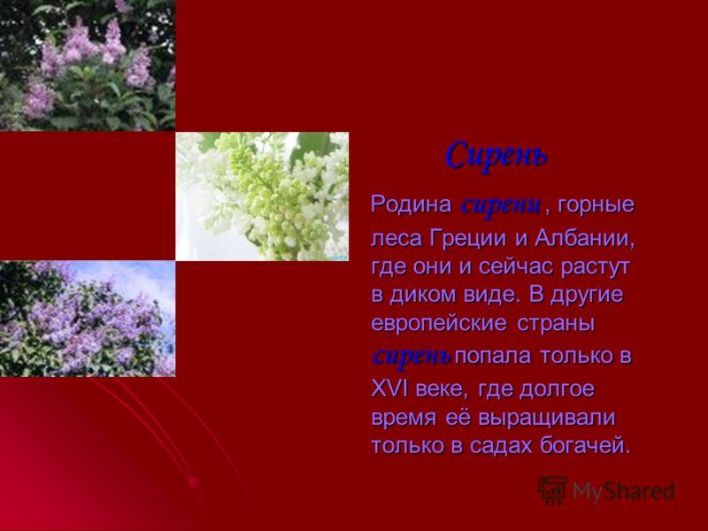 Лилии Одни из самых известных – лилии даурская и кудреватая, или саремка. У неё несколько видов и цветки различной окраски. Особенно много диких лилий растет в Западном Китае, в Северной Бирме. Одни из самых известных – лилии даурская и кудреватая, и