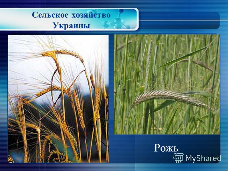Сельское хозяйство Украины Ячмень