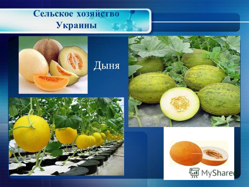 Сельское хозяйство Украины Бахчеводство - отрасль растениеводства, выращивающая растения семейства тыквенных В Украине выращивают: арбузы, дыни и тыквы