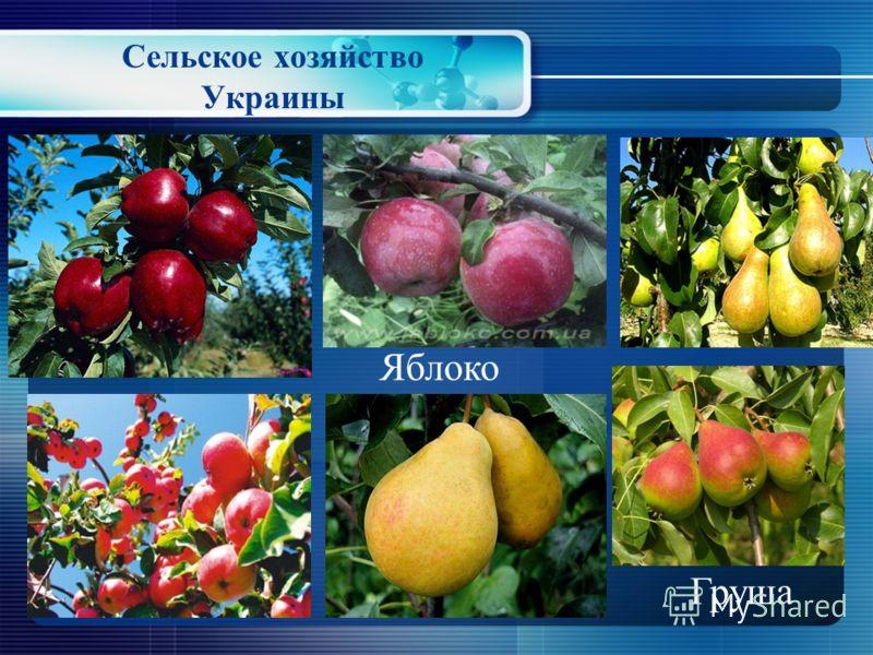 Сельское хозяйство Украины Плодоводство и садоводство - отрасли растениеводства, занимающиеся выращиванием плодово-ягодных культур. В Украине выращивают следующие плодово- ягодные культуры: малина, клубника, черника, крыжовник, смородина, яблоко, гру