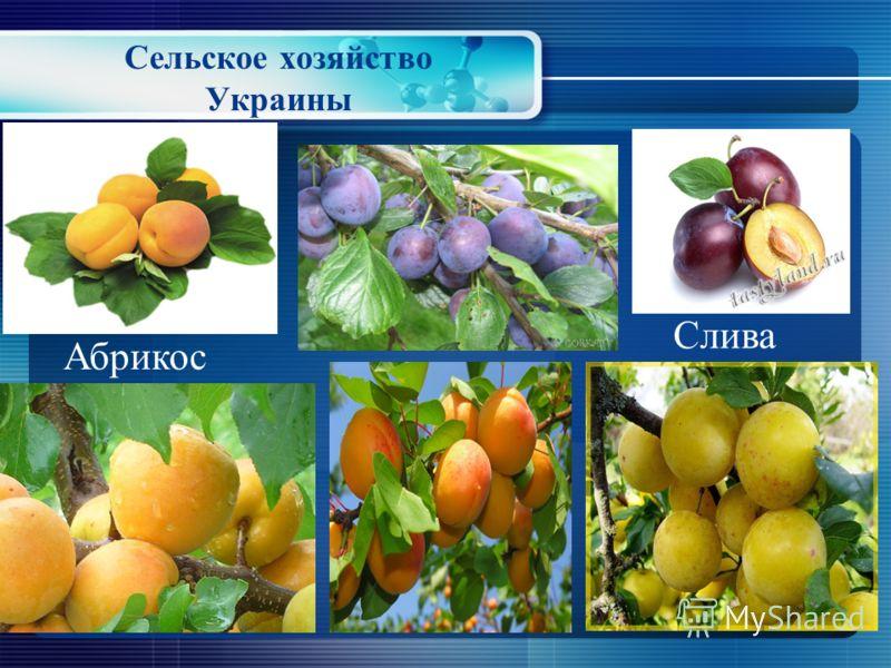 Сельское хозяйство Украины Черешня Вишня