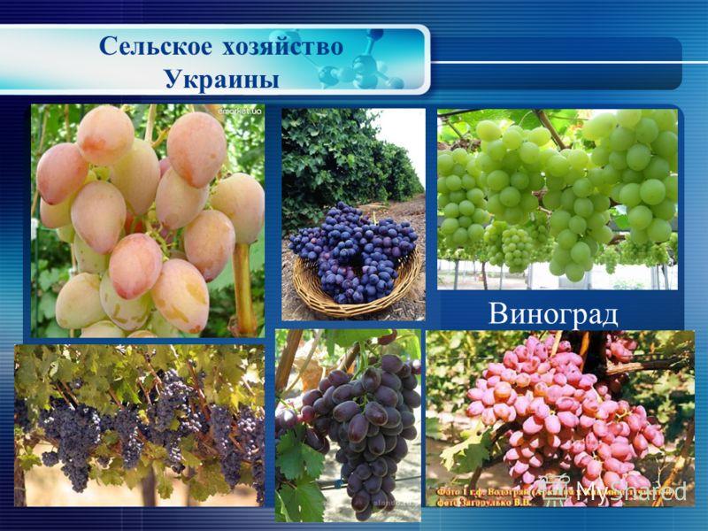 Сельское хозяйство Украины Абрикос Слива