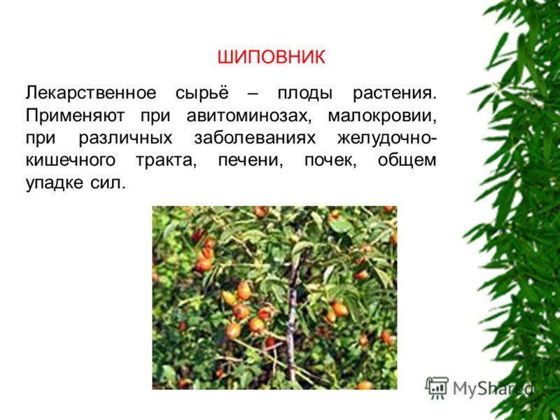 ШИПОВНИК Лекарственное сырьё – плоды растения. Применяют при авитоминозах, малокровии, при различных заболеваниях желудочно- кишечного тракта, печени, почек, общем упадке сил.