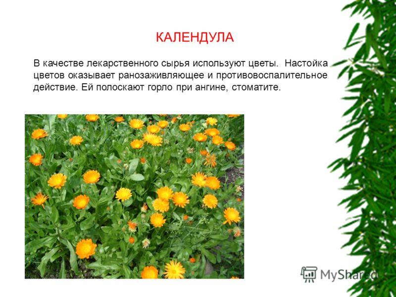 КАЛЕНДУЛА В качестве лекарственного сырья используют цветы. Настойка цветов оказывает ранозаживляющее и противовоспалительное действие. Ей полоскают горло при ангине, стоматите.