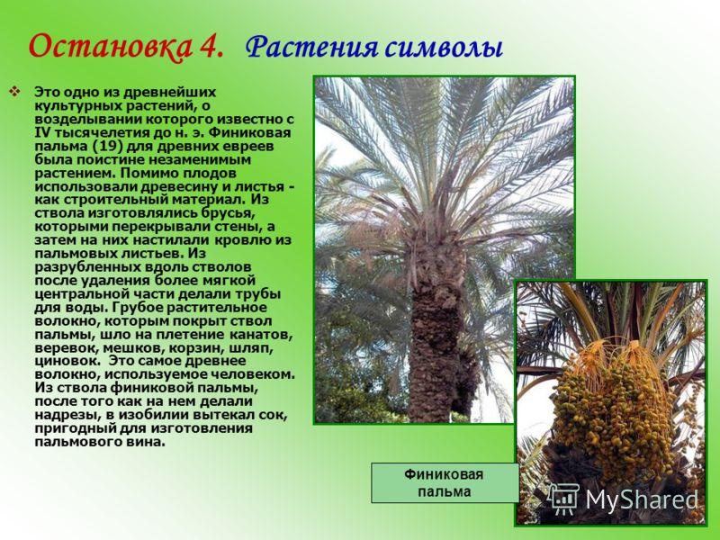 Остановка 4. Растения символы Это одно из древнейших культурных растений, о возделывании которого известно с IV тысячелетия до н. э. Финиковая пальма (19) для древних евреев была поистине незаменимым растением. Помимо плодов использовали древесину и