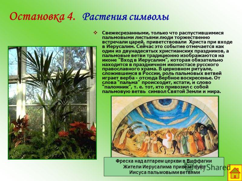 Остановка 4. Растения символы Свежесрезанными, только что распустившимися пальмовыми листьями люди торжественно встречали царей, приветствовали Христа при входе в Иерусалим. Сейчас это событие отмечается как один из двунадесятых христианских праздник