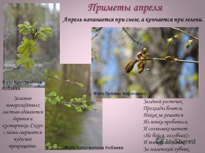 Приметы апреля Зелёный росточек Прохлады боится, Никак не решится Из почки пробиться. И солнышко шепчет: «Не бойся, голубчик!» И тянет листочек За маленький зубчик. Зеленью новорождённых листьев одеваются деревья и кустарники. Скоро с ними свершится