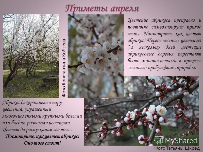 Приметы апреля Фото Константина Кобзева Фото Татьяны Шкред Цветение абрикоса прекрасно и поэтично символизирует приход весны. Посмотрите, как цветет абрикос! Первое весеннее цветение! За несколько дней цветущие абрикосовые деревья перестают быть моно