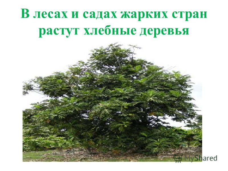 В лесах и садах жарких стран растут хлебные деревья
