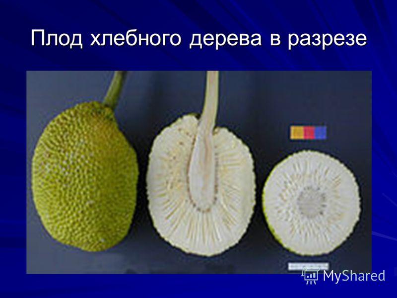 Плод хлебного дерева в разрезе
