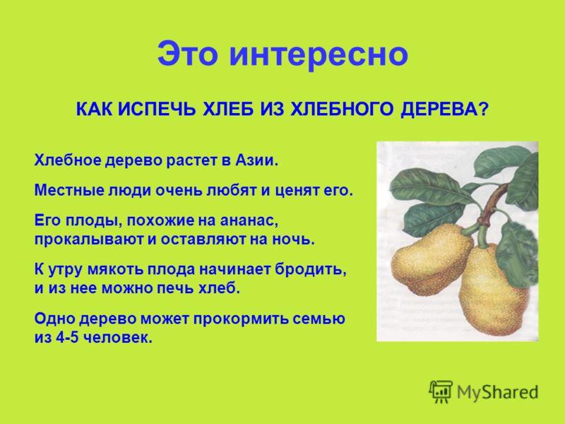 Это интересно КАК ИСПЕЧЬ ХЛЕБ ИЗ ХЛЕБНОГО ДЕРЕВА? Хлебное дерево растет в Азии. Местные люди очень любят и ценят его. Его плоды, похожие на ананас, прокалывают и оставляют на ночь. К утру мякоть плода начинает бродить, и из нее можно печь хлеб. Одно